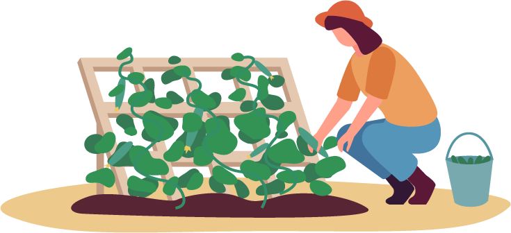 Illustration of a woman harvesting courgettes